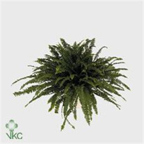 Nephrolipis exal Green lady